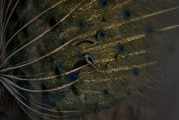 Peacock (Photo by Nitish Bindal)